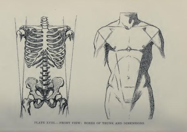 lamina-la-figura-humana-vanderpoel-torso-frente