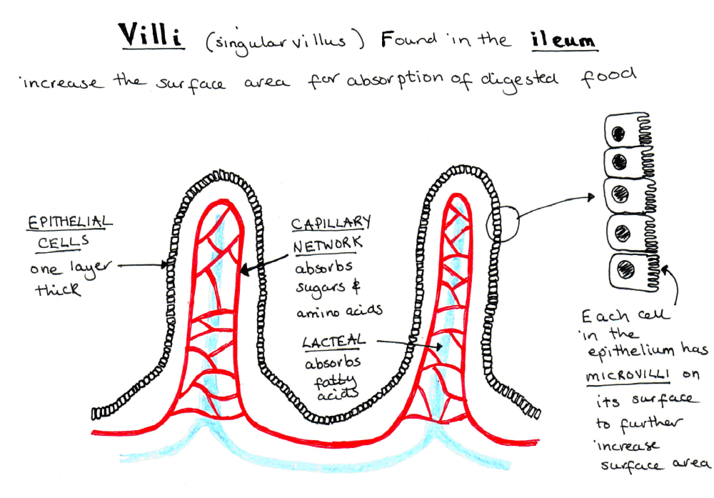 medium resolution of villi diagram of cell wiring diagram forward diagram of chorionic villi diagram of villi