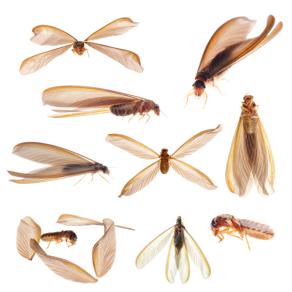 Termite Swarmers in San Diego County — GC Blog