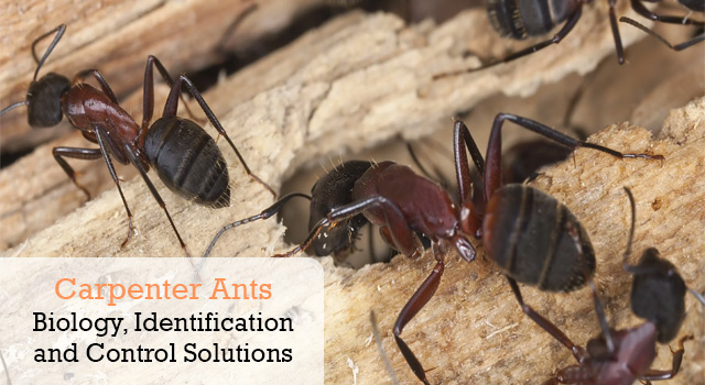 Carpenter Ants Biology, Identification and Control Solutions