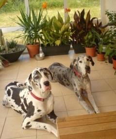 Harelquin & Merle