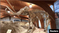 The skeleton of a mammoth, one of the large mammals that roamed North America during the last Ice Age, is displayed at the Mammoth Site where numerous mammoth fossils have been excavated in Hot Springs, South Dakota, U.S. August 31, 2018. . (REUTERS/Will