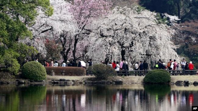 Los organizadores de los Juegos Olímpicos consideraron celebrar los juegos en primavera, donde coincidirían con la temporada de florecimiento de los cerezos en la ciudad, pero la idea presentó problemas logísticos.
