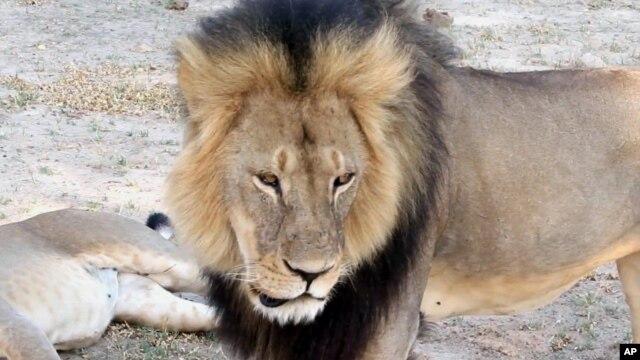 Sư tử nổi tiếng Cecil được bảo vệ và sống trong Vườn quốc gia Hwange ở Zimbabwe.