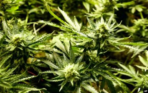 La marihuana madura en condiciones ideales en el Dispensario Medicine Man en el noroeste de Denver, Colorado. 5 de diciembre de 2013.