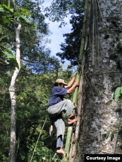Memanjat pohon boan di Sumbawa untuk panen madu hutan (foto: courtesy).