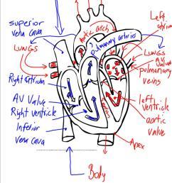 heart diagram with blood flow [ 800 x 1007 Pixel ]