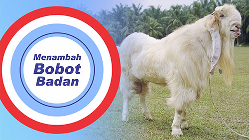 bobot kambing