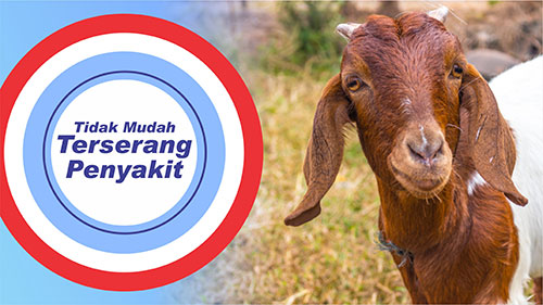 kambing tidak mudah terserang penyakit