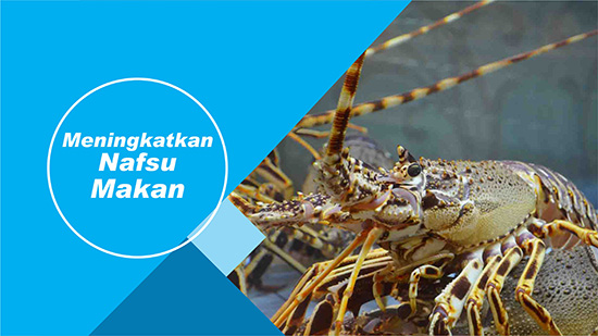 nafsu makan lobster air tawar