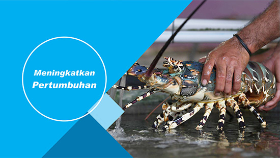 pertumbuhan lobster air tawar