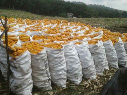 cara menanam jagung manis