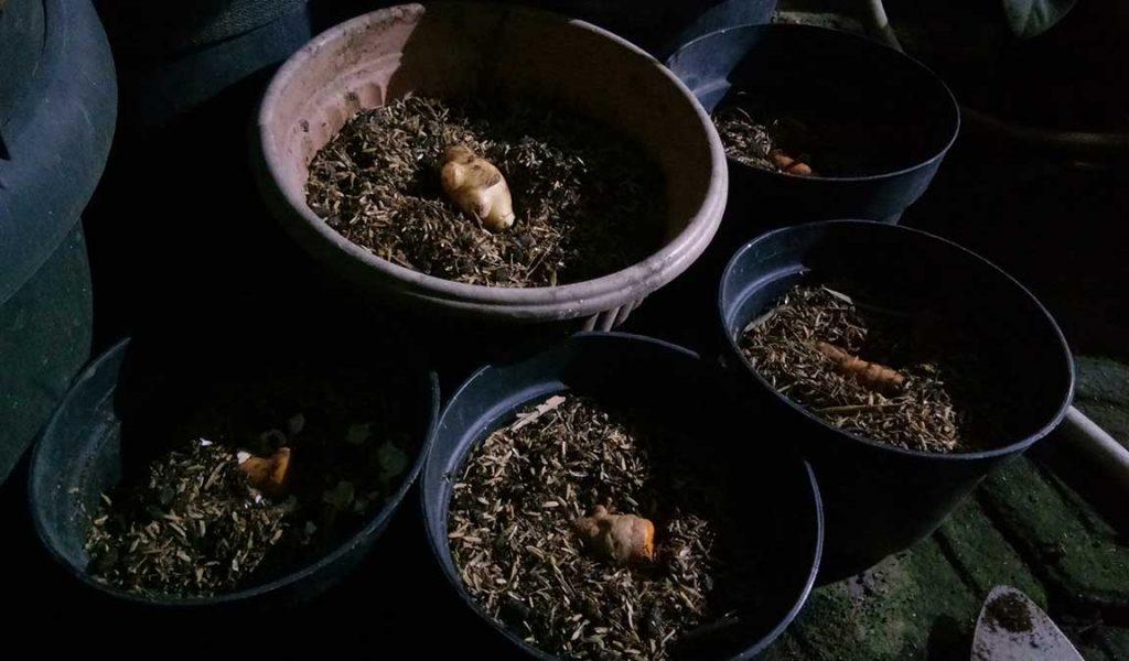 cara menanam jahe di pot