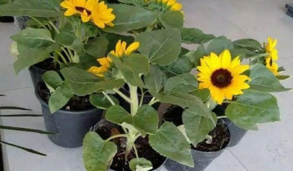 menanam bunga matahari di pot