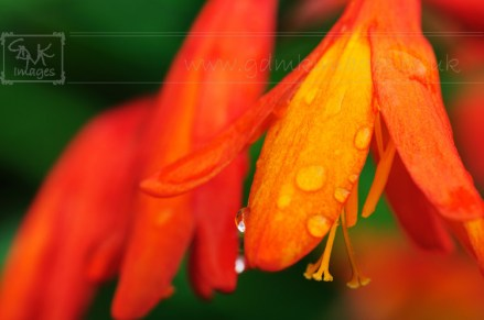 montbretia flower and raindrops
