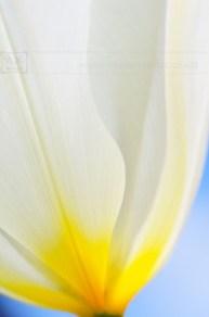 creme tulip close up