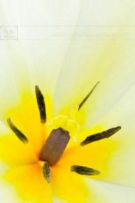 Creme tulip stamen close up