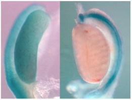Credit: Genetics of sex determination and fertility UMR-INSERM U1091-CNRS 7277, Nice