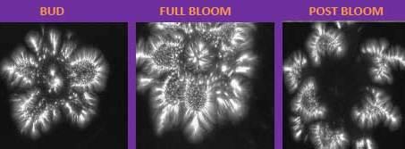 bio-well scab bud, full bloom, post bloom