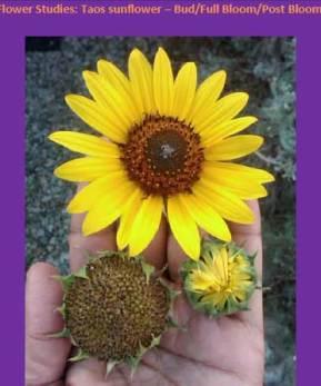 bio-well sunflower scan