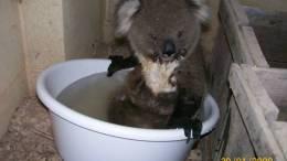 Koala's Bucket