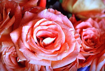 rosesdnokiahdtvd300