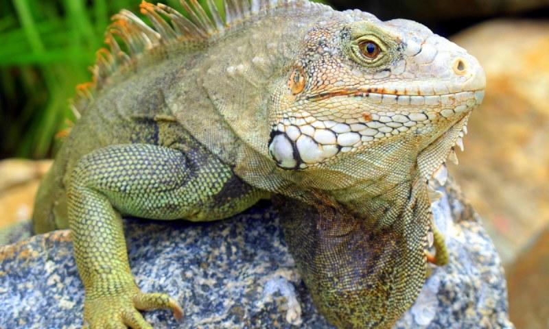 06-geardiary-aruban-iguanas-005