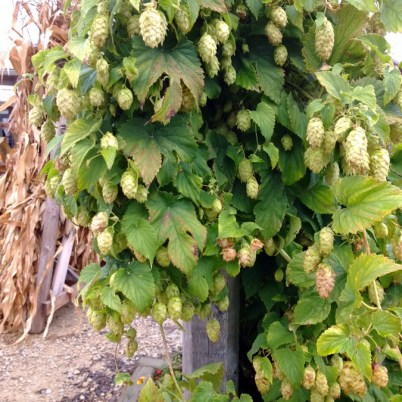 Hops growing at Fresh picked apples at Nesbitt's Orchard in Prescott, Wisconsin