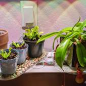Stepania Suberosa next to three venus fly traps and a pitcher plant/nepenthes.