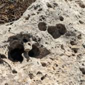 A closeup of a limestone rock with lots of holes and fossil impressions in it.