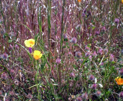 More Sunol Wildflowers