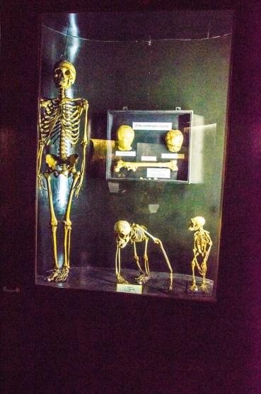 kerangka manusia, orang utan, dan kera. dalam kotak: tengkorak pithecanthropus erectus