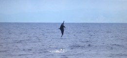 photo from Doc Jom Acebes '' breaching dolphin''