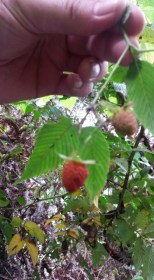 blurry wild berries