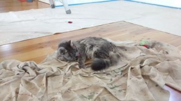 Taala relaxing on a dropcloth with two toy mice in the background