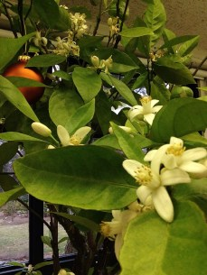 fragrant citrus blooms in the winter classroom at GEC