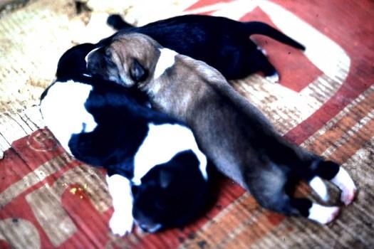 Hundebabies, Calangute (c)1983 Corinne I. Heitz