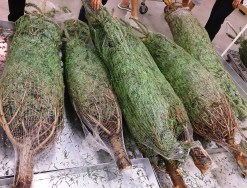 Christmas_tree_for_sale