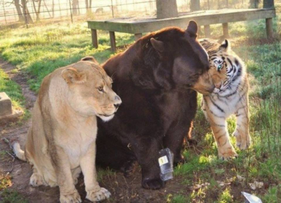 "This bear, lion, and tiger combo is lovingly referred to as ""BLT"" and they have lived together since they were cubs. They have lived in the Noah's Ark facility for over twelve years. They are the most popular exhibit, and the only trio of it's kind in the world."