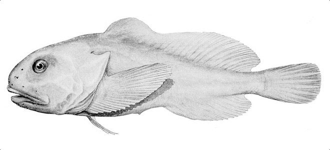 a blobfish swimming