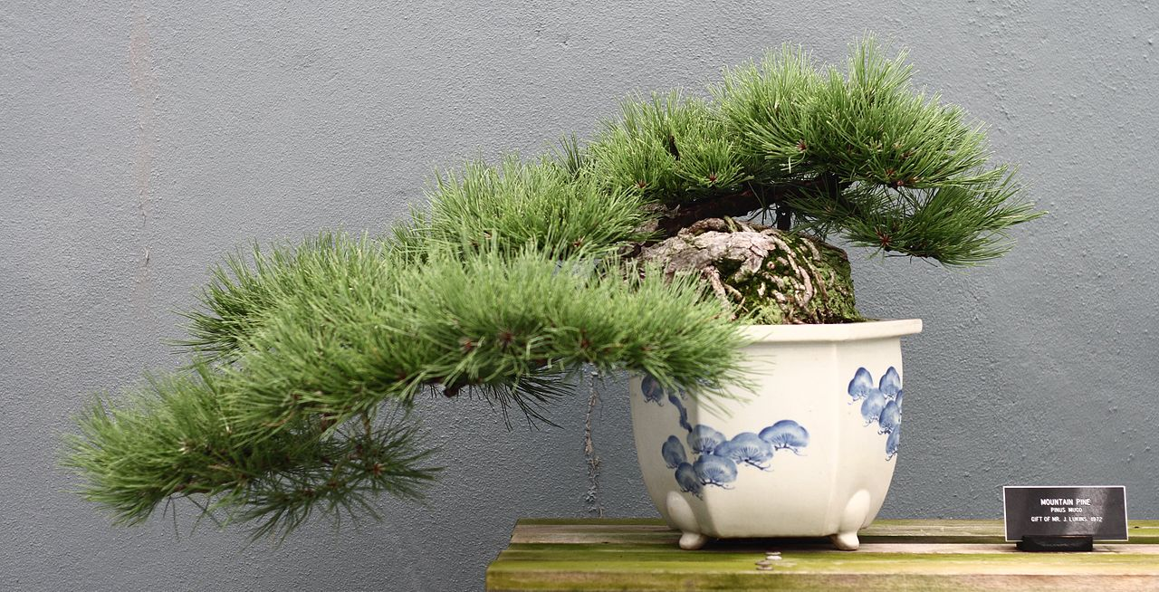 Bonsai Woes and the Sad Gardener