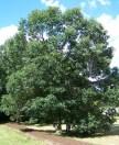 Swamp Oak