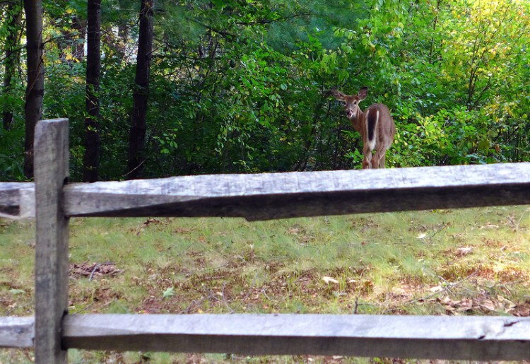 Myopia-Deer-JC.jpg