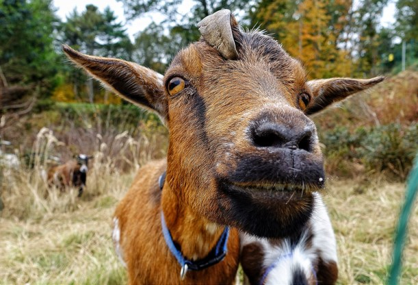 BostonGC-Goat.jpg