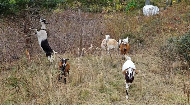 BostonGC-Goats.jpg
