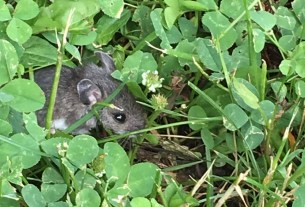image of mouse amidst clover