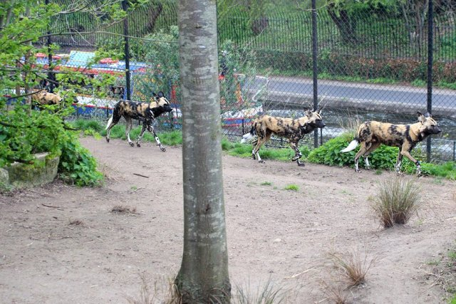 African Hunting Dogs Run Alongside Regent's Canal, Image: Sophie Brown