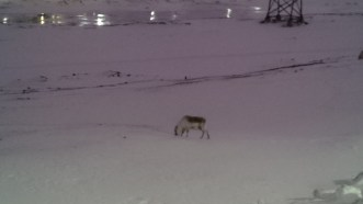 One of the six tiny reindeer spotted on our walk