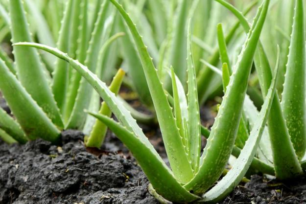 aloe-vera-plant 1