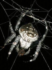 huge-spider-webs-close-up-darwinia_26174_600x450